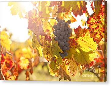 Wine Grapes In The Sun Canvas Print by Diane Diederich