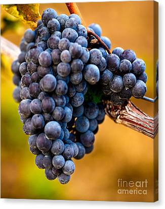 Wine Harvest Merlot Grapes Canvas Print by Iris Richardson