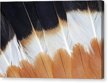 Wing Fanned Out On Northern Lapwing Canvas Print by Darrell Gulin