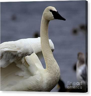 Wings Raised Trumpeter Swan Canvas Print by Sue Harper