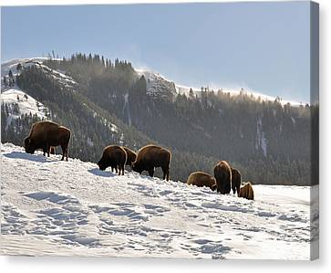 Winter Bison Herd In Yellowstone Canvas Print by Bruce Gourley