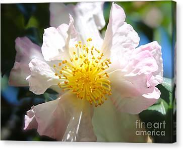 Winter Camellia Canvas Print by Carol Groenen