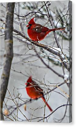 Winter Cardinals Canvas Print by Susan Leggett