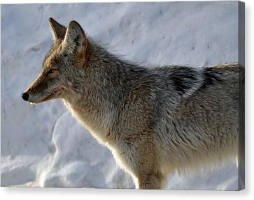 Winter Coyote In Yellowstone Canvas Print by Bruce Gourley