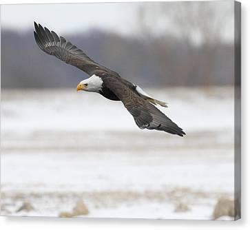Winter Eagle Canvas Print by Coby Cooper