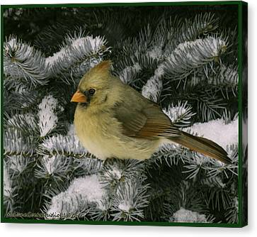 Winter Female Cardinal In Snow Covered Pine Canvas Print by LeeAnn McLaneGoetz McLaneGoetzStudioLLCcom