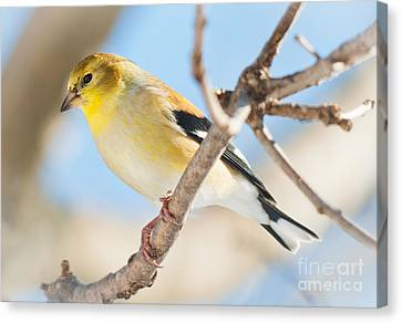 Winter Finch Canvas Print by Cheryl Baxter
