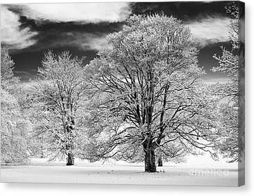 Winter Horse Chestnut Trees Monochrome Canvas Print by Tim Gainey