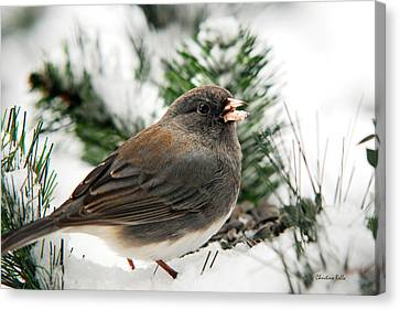 Winter Junco Canvas Print by Christina Rollo