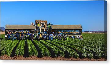 Winter Lettuce Harvest Canvas Print by Robert Bales