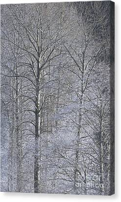 Winter Trees Canvas Print by Sharon Talson