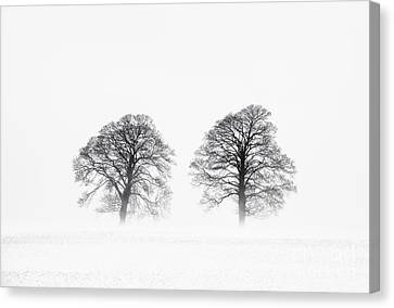 Winter Pine Trees Canvas Print by Tim Gainey