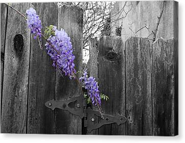 Wisteria Canvas Print by Dylan Punke