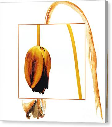 Withered Tulip Flower. Vintage-look Canvas Print by Bernard Jaubert