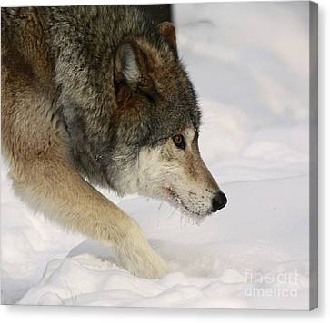 Wolf Dreams Canvas Print by Inspired Nature Photography Fine Art Photography