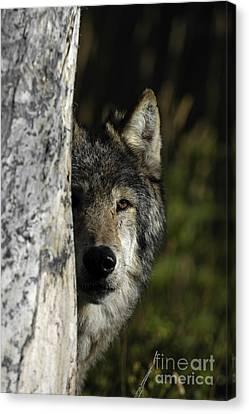 Wolf Hiding Canvas Print by Wildlife Fine Art