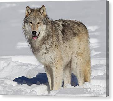 Wolf In Snow Canvas Print by Jerry Fornarotto