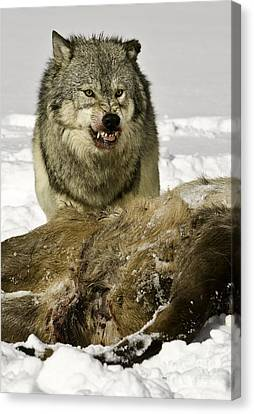 Wolf Protecting Kill Canvas Print by Jerry Fornarotto