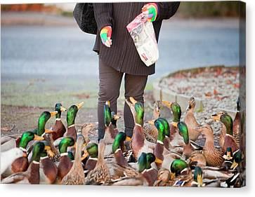 Woman Feeding Mallard Ducks Canvas Print by Ashley Cooper