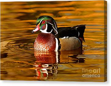 Wood-drake On The Golden Light Canvas Print by Mircea Costina Photography