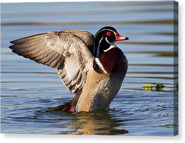 Wood Duck Drake Drying Wings Canvas Print by Ken Archer