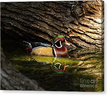 Wood Duck In Wood Canvas Print by Robert Frederick