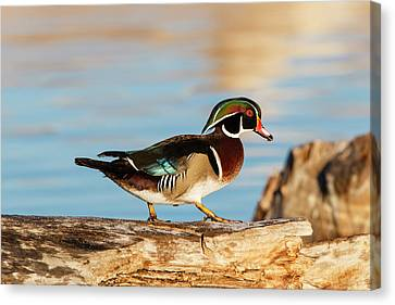 Wood Ducks (aix Sponsa Canvas Print by Larry Ditto