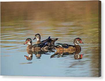 Wood Ducks And Divergent Directions Canvas Print by Michael Qualls