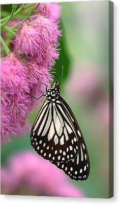 Wood Nymph Butterfly Canvas Print by Nigel Downer