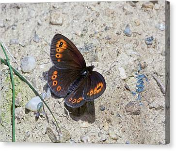 Woodland Ringlet Butterfly Canvas Print by Bob Gibbons