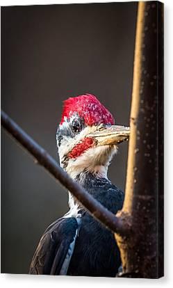 Woody Woodpecker Canvas Print by Paul Freidlund