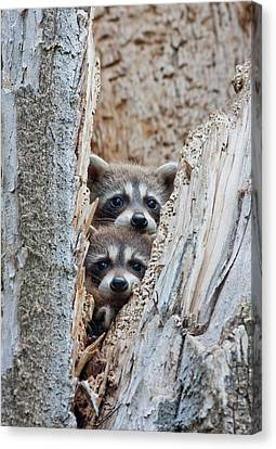 Wyoming, Lincoln County, Raccoon Young Canvas Print by Elizabeth Boehm