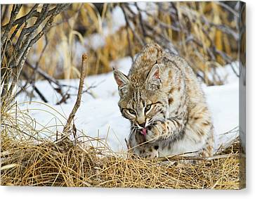 Wyoming, Sublette County, Bobcat Canvas Print by Elizabeth Boehm