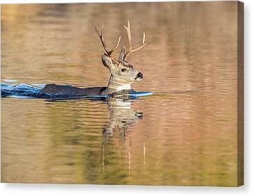 Wyoming, Sublette County, Mule Deer Canvas Print by Elizabeth Boehm