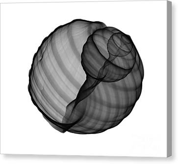 X-ray Of Tun Shell Canvas Print by Bert Myers