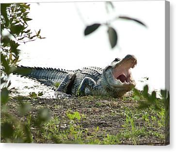 Yawning Gator At Green Cay Boynton Beach Florida Canvas Print by Michelle Wiarda
