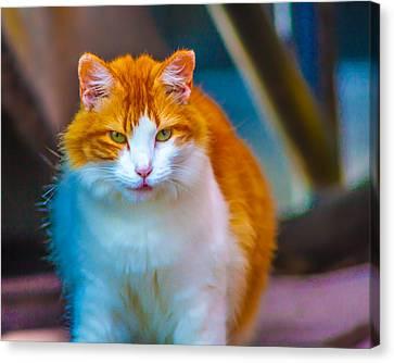 Ybor Cat Canvas Print by Ybor Photography