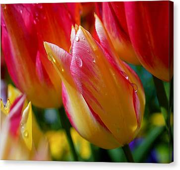 Yellow And Pink Tulips Canvas Print by Rona Black