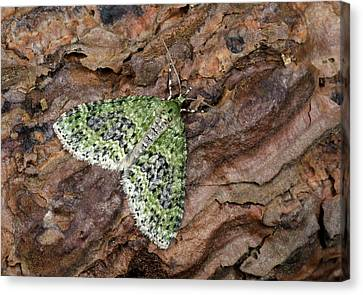 Yellow-barred Brindle Moth Canvas Print by Nigel Downer