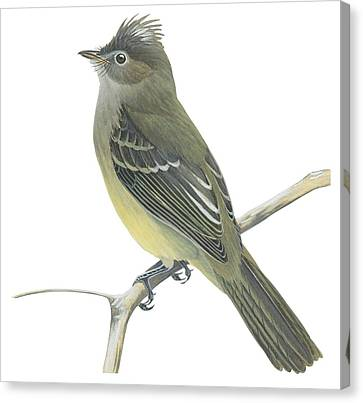 Yellow Bellied Elaenia  Canvas Print by Anonymous