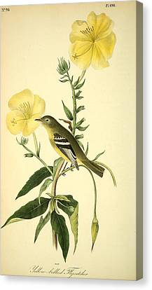 Yellow-bellied Flycatcher Canvas Print by Philip Ralley
