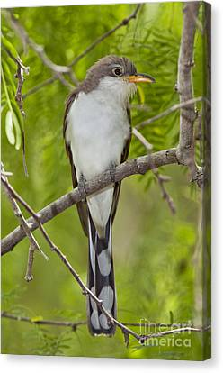 Yellow-billed Cuckoo Canvas Print by Anthony Mercieca