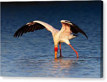 Yellow-billed Stork Hunting For Food Canvas Print by Johan Swanepoel