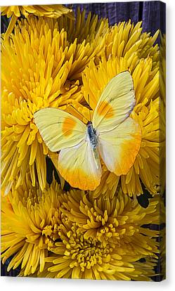 Yellow Butterfly On Yellow Mums Canvas Print by Garry Gay