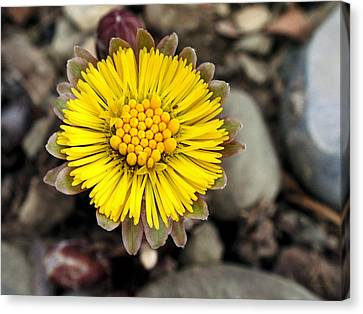 Yellow Coltsfoot Flower Canvas Print by Christina Rollo