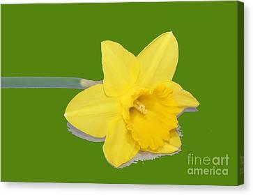Yellow Daff Canvas Print by Carol Lynch