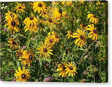 Yellow Daisies In Tall Grass Prairie Madison County Iowa Canvas Print by Robert Ford