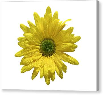 Yellow Daisy  Canvas Print by Mauro Celotti