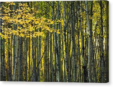 Yellow Fall Birch Leaves Against An Canvas Print by Joel Koop