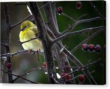 Yellow Finch Canvas Print by Karen Wiles